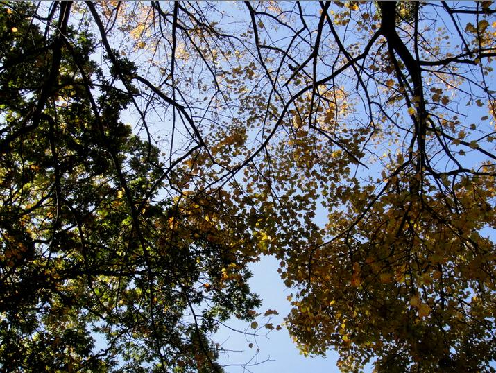 Thinning maple