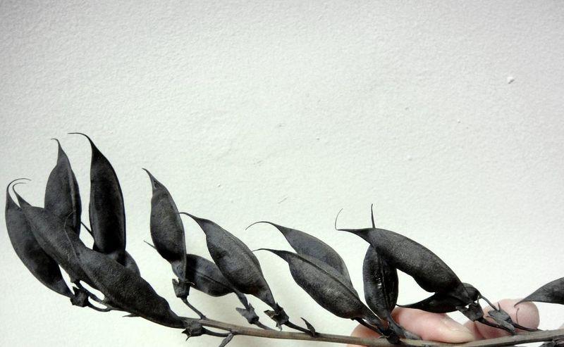 False indigo seed pods