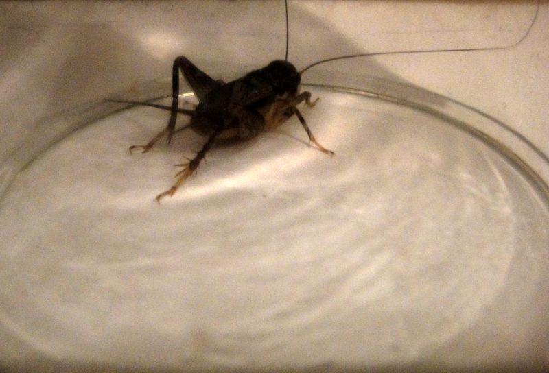 Cricket under glass at 3 AM