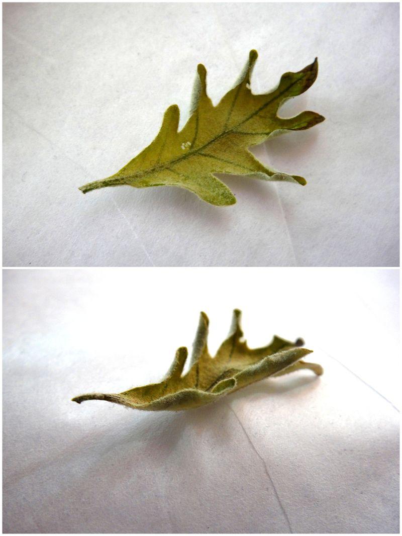 Baby oak leaves