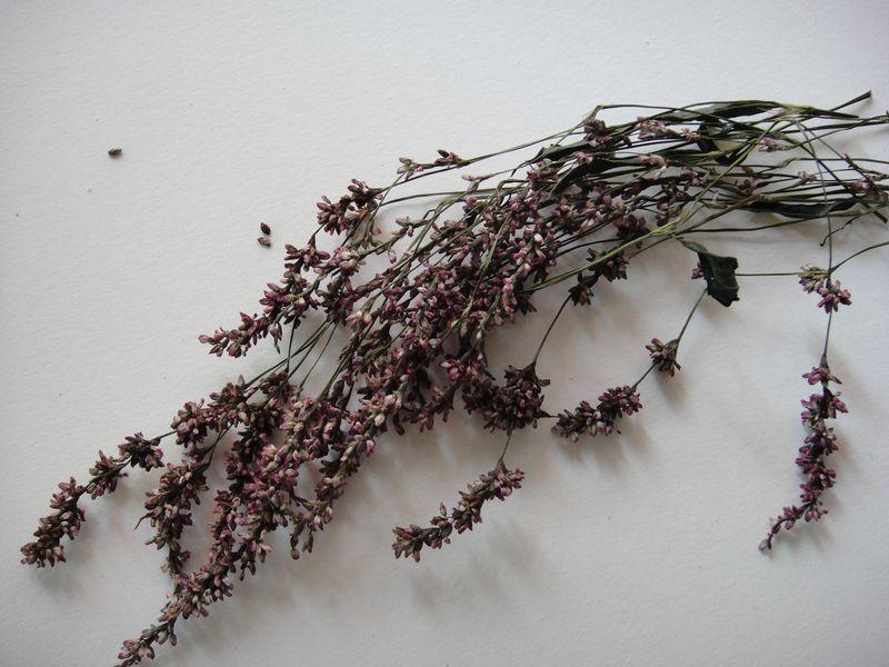 Japanese indigo seed heads