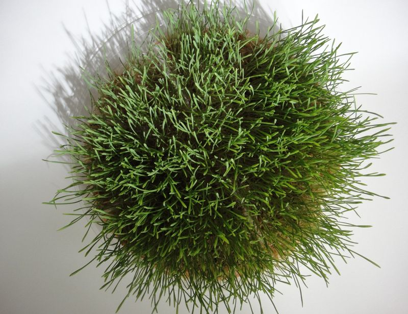 Ring of  wheatgrass
