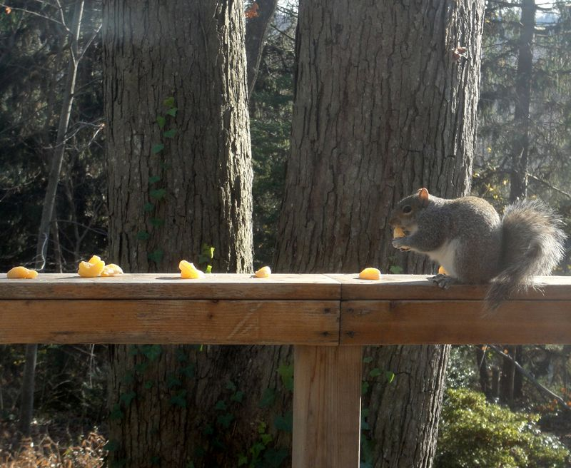 Squirrels like oranges
