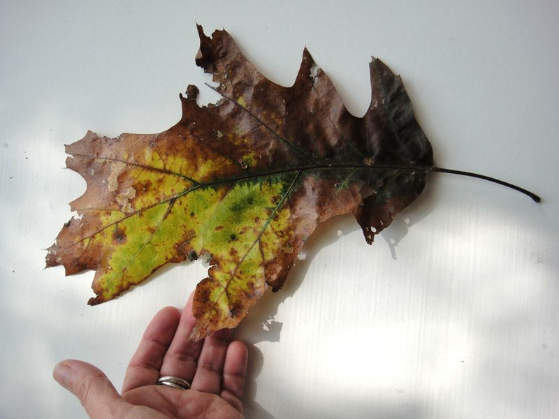 Not Just an oak leaf