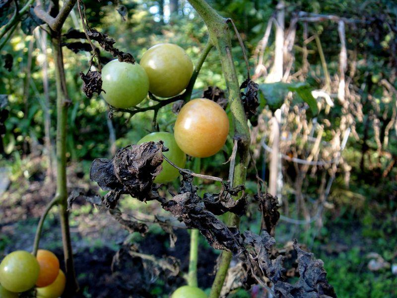 Late fruit