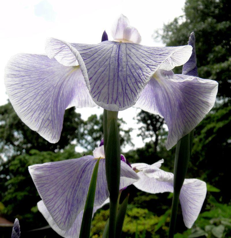 Iris again