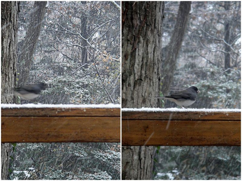 Junco rushing and then not