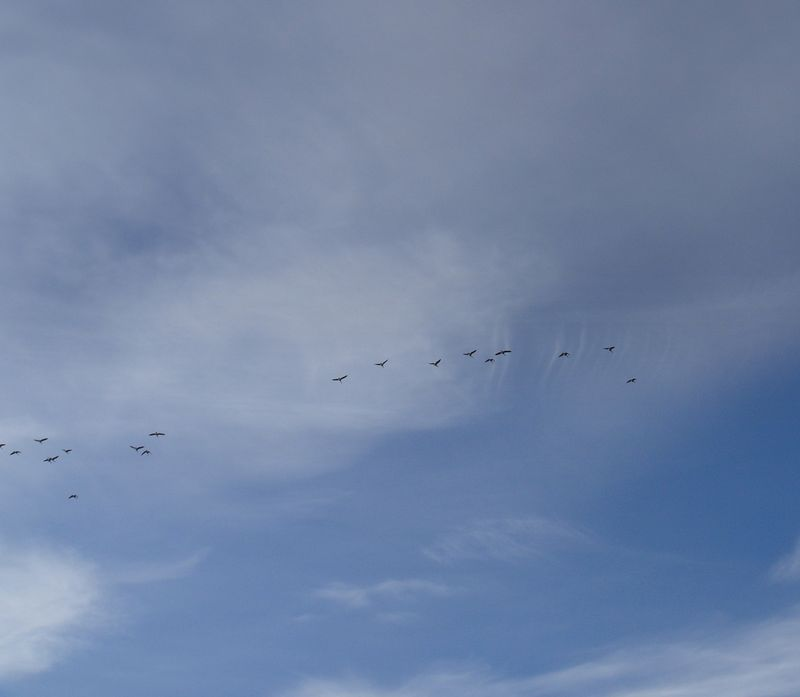 Geese in march