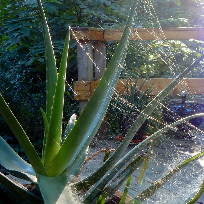 Webbed aloe