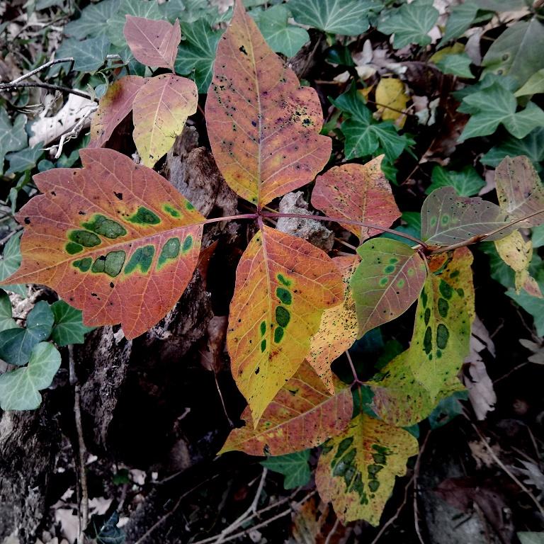 Poison ivy in november
