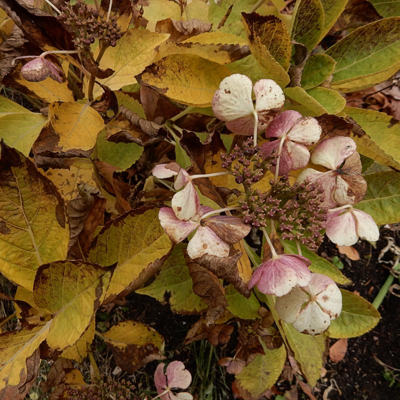Hydrangea slowly fading