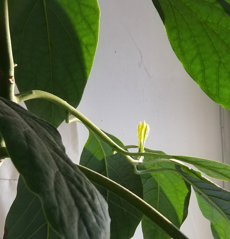 Avocado awakens