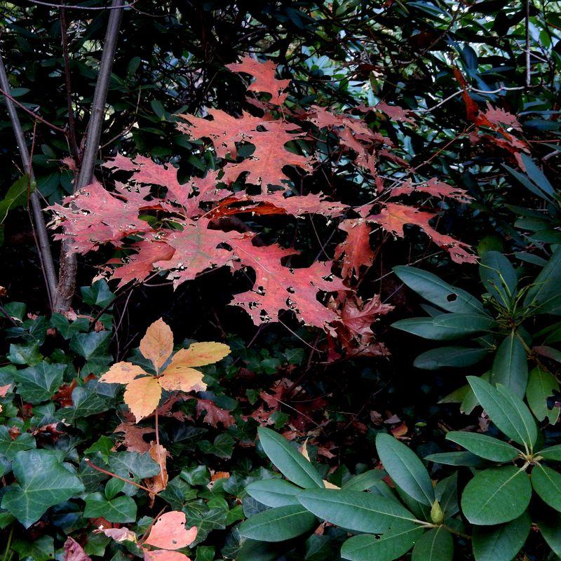 Oak becoming undone
