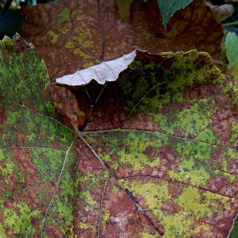 Grape leaf curling inward