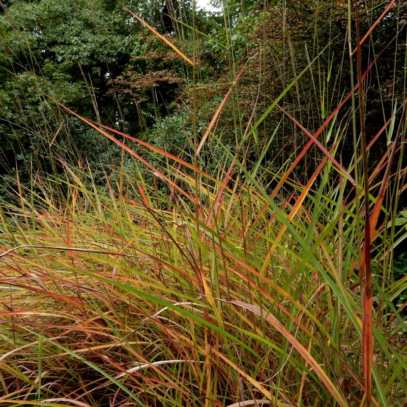 Firegrass