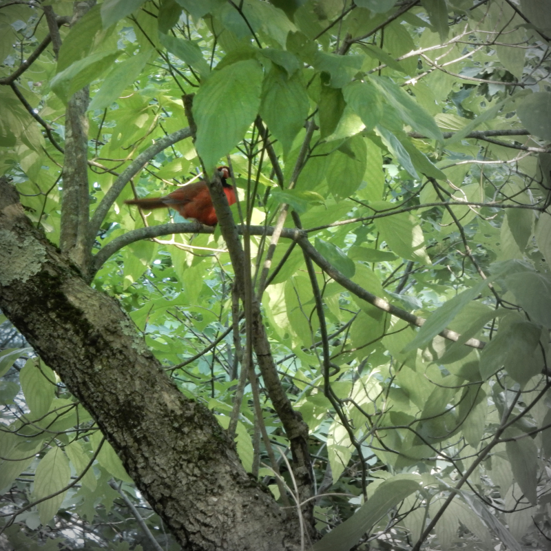 Cardinal  in the Dogwood