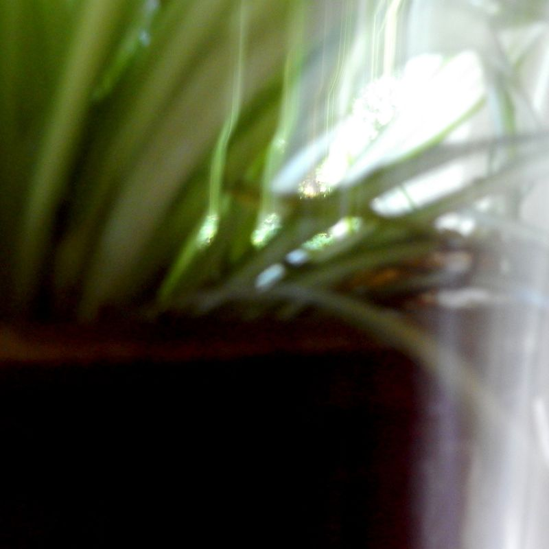 Spider plant up tto close