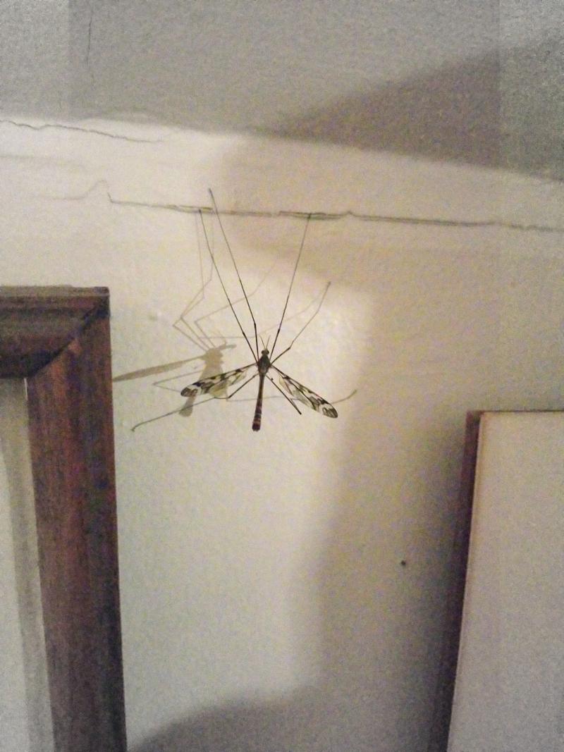Cranefly visit