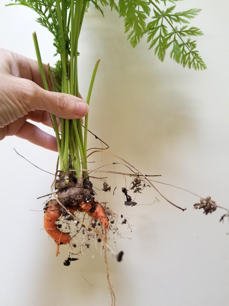 Carrot regeneration