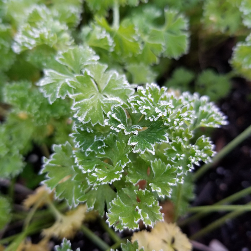 When the frost is on the parsley