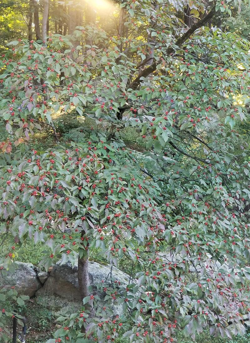 The dogwood has berries