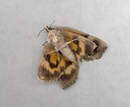 Lion_moth