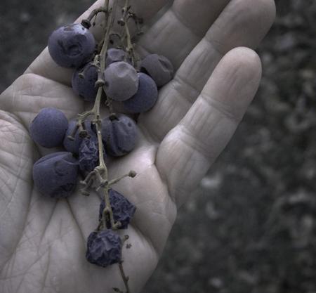 Evolution_of_raisins