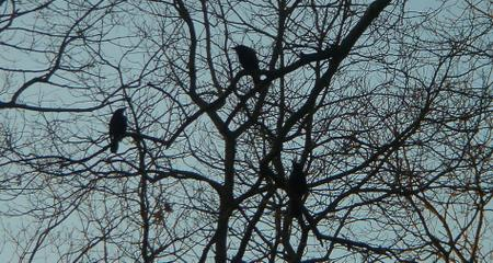 Morning_crows