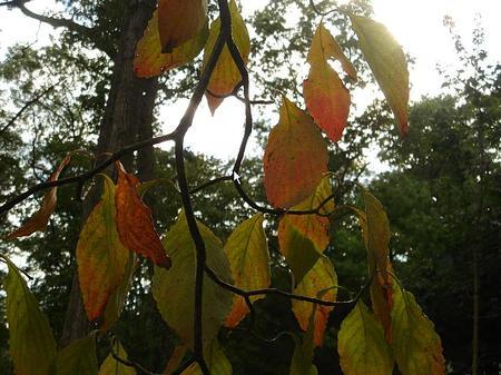 Dogwood_in_september